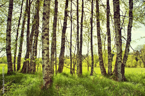 Foto op Canvas Berkbosje spring birch trees on a meadow