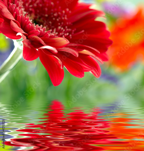 Closeup of red daisy-gerbera reflected in the water - 41703128