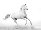 white stallion - 41718960