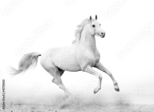 Naklejki konie   bialy-ogier