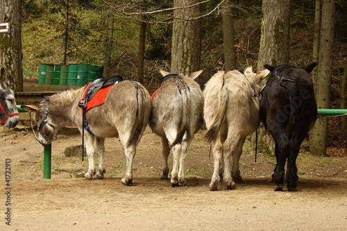 Photo  donkey taxi