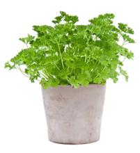 Parsley Plant In A Flowerpot