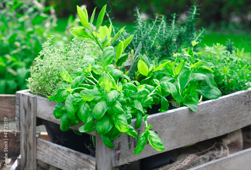Papiers peints Jardin Fresh basil growing in crate