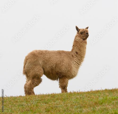 Staande foto Lama An Alpaca on the horizon