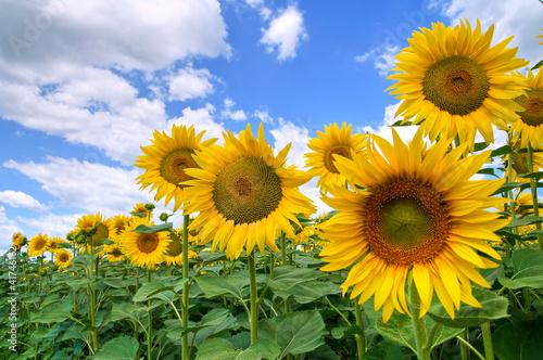 Spoed Foto op Canvas Zonnebloem Sunflower field.