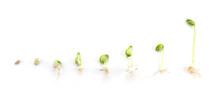 Sequence Of Bean Plant Growing Isolated On White Background