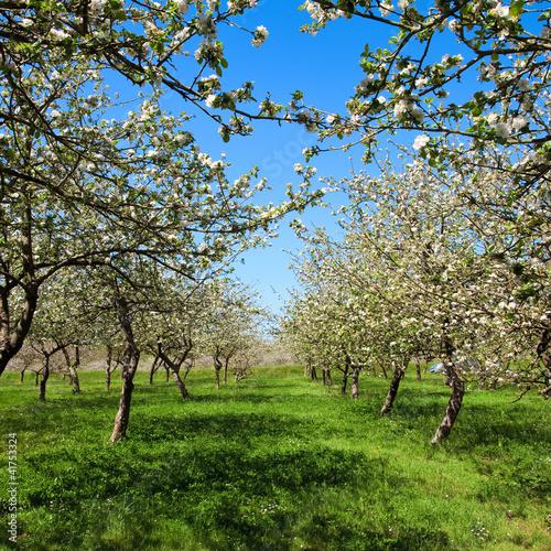 Naklejka premium Kwitnąca jabłoń na wiosnę C