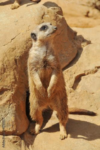 Foto op Plexiglas Leeuw Cute meerkat