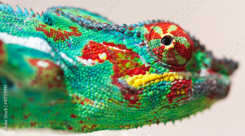 Papiers peints Cameleon tête de caméléon panthère