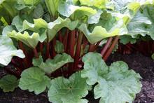 A Healthy Rhubarb On A Bright Sunny Day.