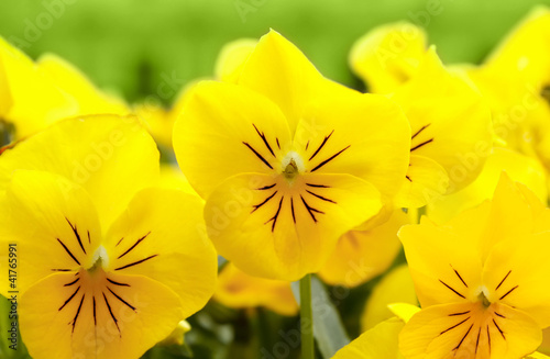 Poster Pansies yellow pansy flowers