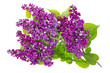 Purple lilac isolated branches