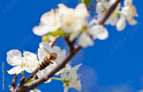 Aluminium Prints Bee Bee on spring apple blossom