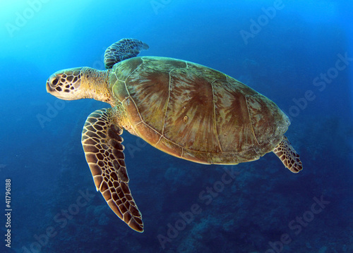 In de dag Schildpad green turtle swimming,great barrier reef, cairns, queensland, au
