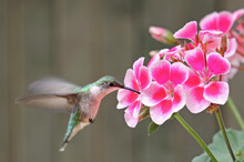 Ruby-throated Hummingbird And ...