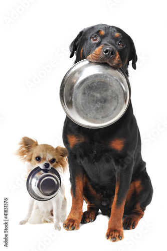 Photo  rottweiler chihuahua and food bowl