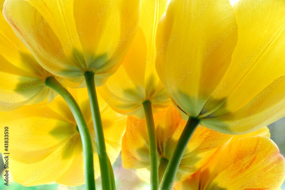 Fototapety, obrazy: Żółte kwiaty tulipanów