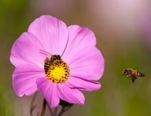 Bee Approaching Buddy