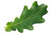 Leinwanddruck Bild - Green leaf oak isolated on white background