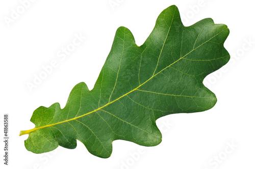 Green leaf oak isolated on white background