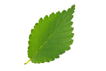 Green Leaf Elm Isolated On White Background