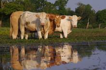 Vaches Curieuses Au Bord De L'...