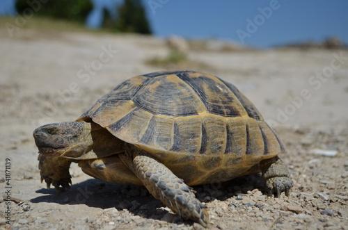 Fotografie, Obraz  Turtle hledá na straně