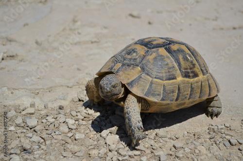 Fotografie, Obraz  Zblízka zemního želvy