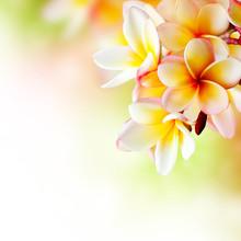 Frangipani Tropical Spa Flower. Plumeria. Border Design