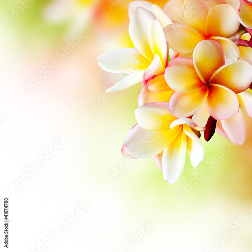 Staande foto Bloemenwinkel Frangipani Tropical Spa Flower. Plumeria. Border Design