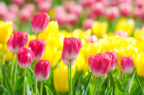 Photo Stands Candy pink Flowers tulips in the garden