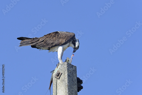 Photo  osprey, pandion haliaetus