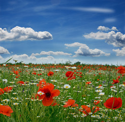 Fototapeta Springtime: field of poppies with blue sky and clouds