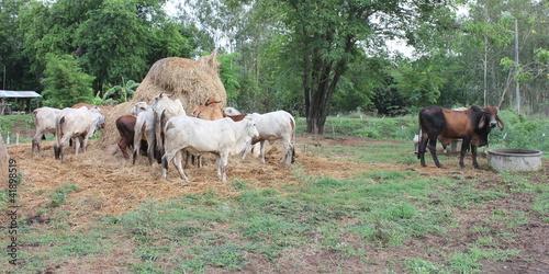 Keuken foto achterwand Olijf Black and brown cow eating hay, but not to drink water