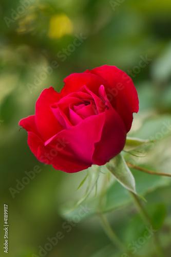 roza-w-ogrodzie