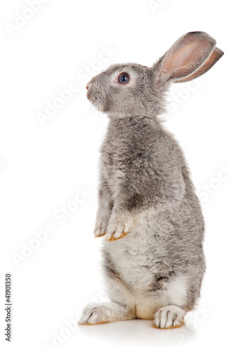 Foto Gray rabbit