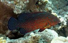 Mérou Rouge (cephalopholis Ar...