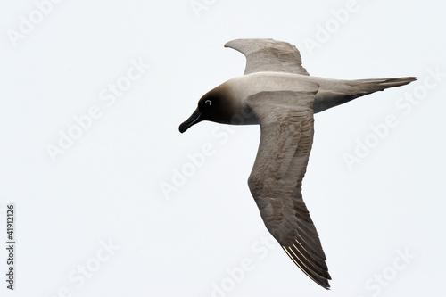 Vászonkép  Light-mantled sooty albatross flying.