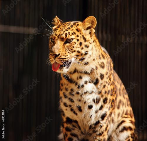 Obrazy na płótnie Canvas Leopard
