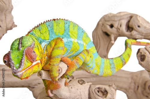 Staande foto Kameleon Colorful chameleon.