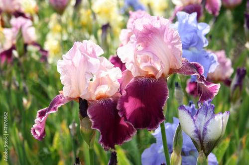 Spoed Foto op Canvas Iris Pink garden iris