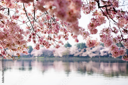 Cherry Blossoms over Tidal Basin in Washington DC - 41977013