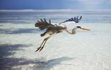 Maldives Bird