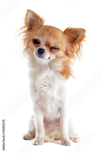 Fotografía  clin d'oeil de chihuahua