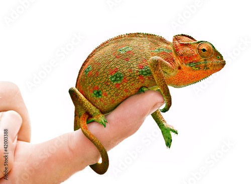 Foto op Plexiglas Kameleon Chameleon on hand