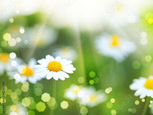 Foto-Kissen - abstract backgrounds with daisy flowers and sun beam (von Dmytro Tolokonov)