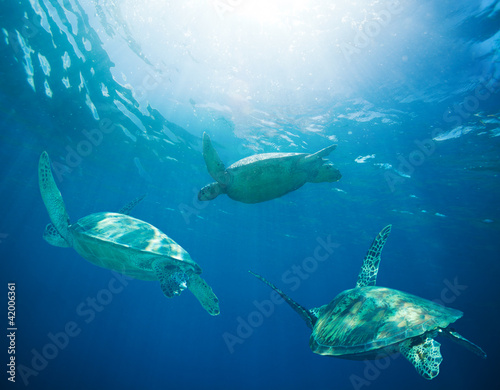 Fotografía school of sea turtles migrating