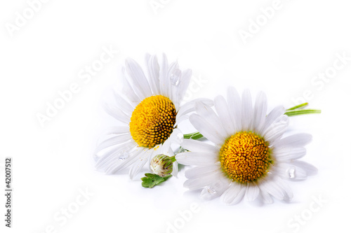 Foto op Canvas Madeliefjes art daisies summer white flower isolated on white background