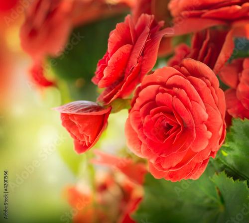 Begonia flower - 42011566