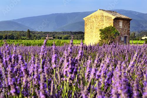 Lavender in the landscape